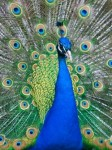 Influence - Socializers - Peacocks